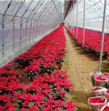 一品红 青州批发盆栽一品红 办公室租摆圣诞红室内花卉盆栽