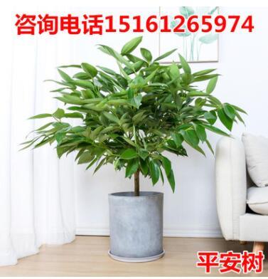 批发大型绿植平安树盆栽大客厅幸福树四季常青绿色植物花卉办公室