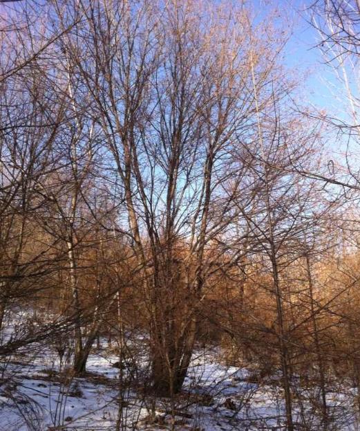 丛生五角枫高度枝。