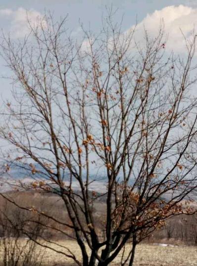 丛生蒙古栎,2018年丛生蒙古栎价格,丛生蒙古栎供应