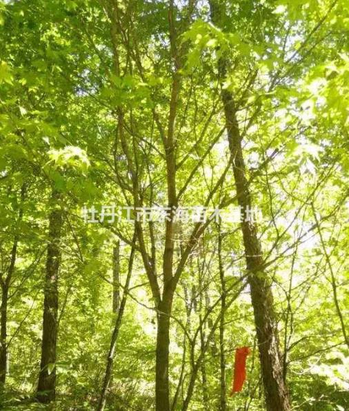 2015年五角枫供应,五角枫价格,2015年五角枫图片