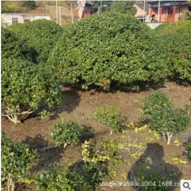 枸骨 枸骨球 无刺枸骨 无刺枸骨球 规格齐全园林工程庭院花园造景