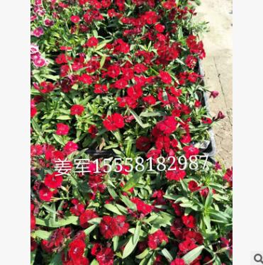 常夏石竹 盆栽 基地直销 批发价格 大量供应 各种规格