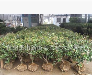 茶梅 基地直销 生产批发基地价格 品种齐全 量大优惠