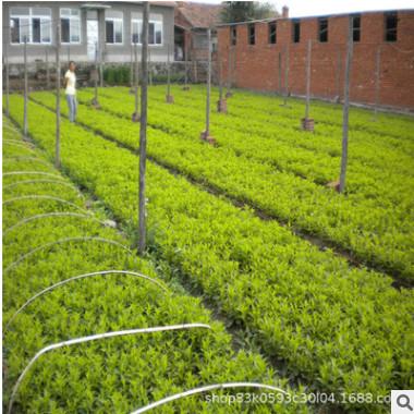 紫叶锦带小苗工程绿化苗木庭院色块绿篱紫叶锦带苗 红王子锦带
