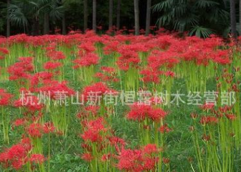 石蒜花 彼岸花 各种品种 基地直销 再力花 水生植物