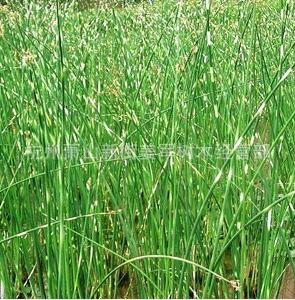 水葱 水生植物 基地直销 净化排污 品种齐全 量大优惠