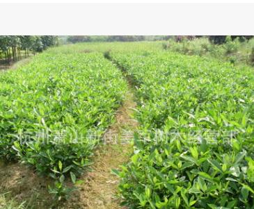 大叶栀子基地直销 小叶栀子 品种齐全 量大优惠 各种规格