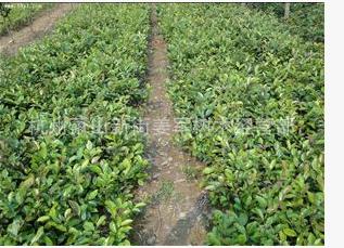 蚊母 基地直销 大量批发 品种齐全 量多优惠