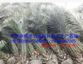 福建加拿利海枣杆高0-100cm棕榈苗木 漳州刺葵地苗假植苗 清场
