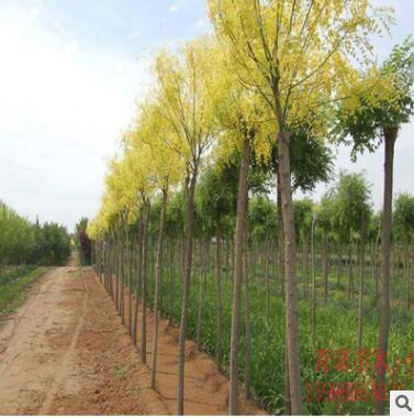 现货供应各种规格金叶槐基地行道绿化金叶槐 供应防护金叶槐