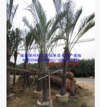 批发漳州三角椰子假植苗头径10-20高2-8米 福建三角槟榔棕榈基地