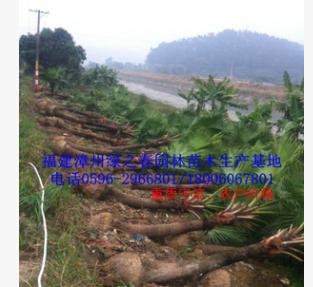 批发漳州蒲葵假植苗头径15-20高3-6米 福建棕榈科种植基地