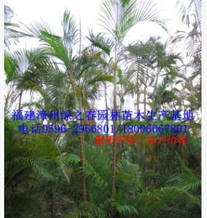 特选福建散尾葵假植苗高2-5米 漳州棕榈科研究基地 冠幅优美