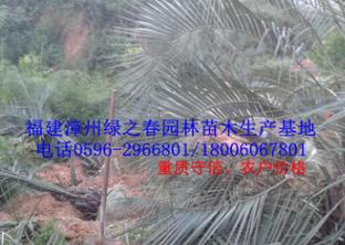 批发漳州布迪椰子假植苗头径20-30高2-4米 福建棕榈科种植基地
