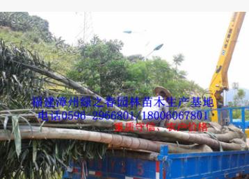 批发漳州狐尾椰子假植苗头径20-30高4-6米 福建棕榈科种植基地