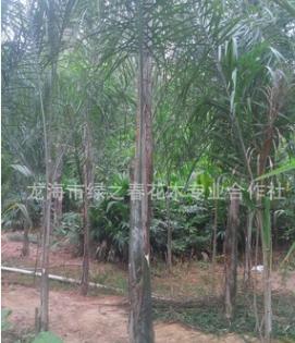 福建皇后葵头径20-30高度200-400漳州金山葵 清场出售