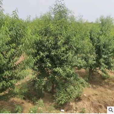 基地出售山桃3-10CM等各种绿化苗木