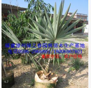 批发漳州霸王棕袋苗假植苗高0-2米 福建棕榈科基地 物美价廉
