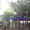 批发漳州董棕假植苗高3-8米 福建鱼尾葵种植基地清场出售