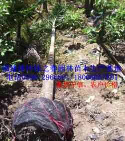福建狐尾椰子袋苗假植苗头径10-20高3-4米漳州棕榈科 清场出售