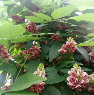 香地栗种球 花开一串串如红色紫藤 地栽盆栽皆可