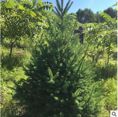 基地自销各种规格云杉 多年种植经验 现挖现卖易成活 云杉