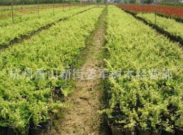 小丑火棘 盆栽 基地直销 各种规格 品种齐全 量大优惠