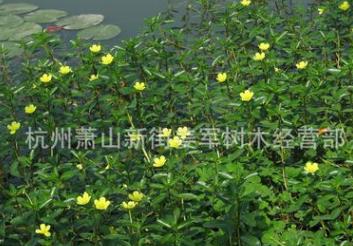 黄花水龙 水生植物 基地直销 品种齐全 量大优惠