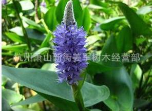 海寿花 水生植物 批发价格 基地直销 兰花三七 黄菖蒲