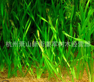 苦草 基地直销各种水生植物 品种齐全 量大优惠