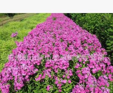 福禄考 草花植物 盆栽 基地直销 各种规格 品种齐全 量大优惠