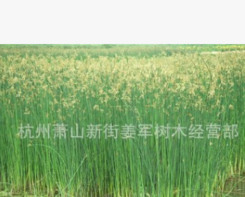 水葱 水生植物 睡莲 黄菖蒲 品种齐全 基地直销