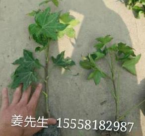 熊掌木 盆栽 基地直销 各种规格 量大优惠 品种齐全