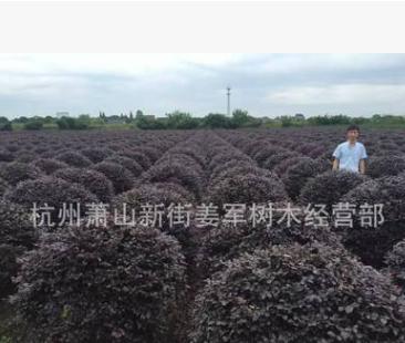 红花继木球 盆栽 各种规格 品种齐全 基地直销