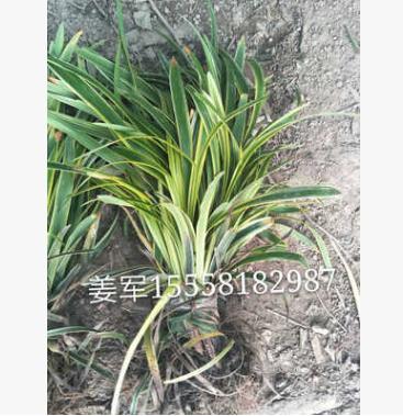 金边麦冬 基地直销 阔叶麦冬 各种规格 品种齐全 量大优惠