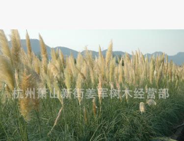 蒲苇 水生植物 草花地被 基地直销 量大优惠 品种齐全