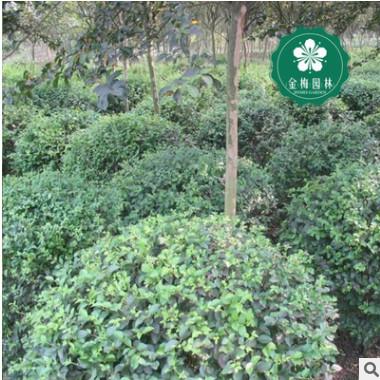 宜昌丁香球 洋丁香 园林绿化工程苗木批发 宜昌园林