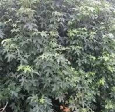 北美枫香小苗,浙江北美枫香供应销售,北美枫香价格