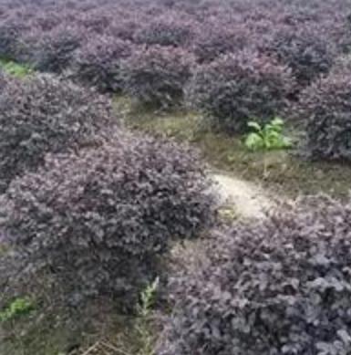 红花继木球,浙江红花继木种苗基地,红花继木价格优惠