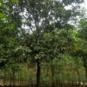 浙江香泡基地、香泡树价格