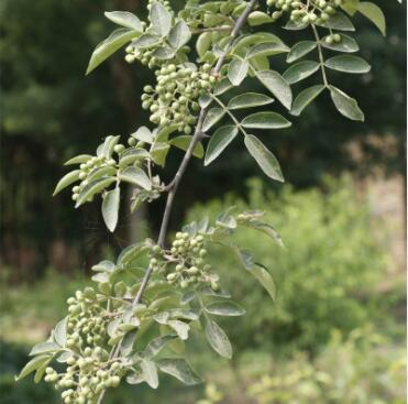 基地批发多规格花椒苗 园林植物庭院种植大红袍花椒价格