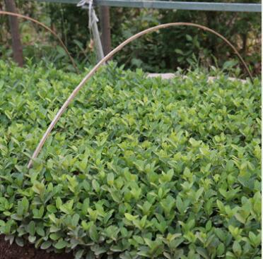 苗圃直销小叶黄杨苗 工程绿化瓜子黄杨 行道花坛绿篱小叶黄杨批发