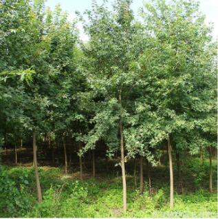 批发五角枫树苗工程绿化苗木观赏植物行道点缀五角枫小苗