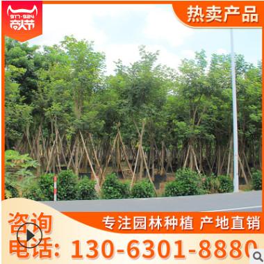大量批发四季变化 黄花风铃木 产地大量供应品相良好 基地直销