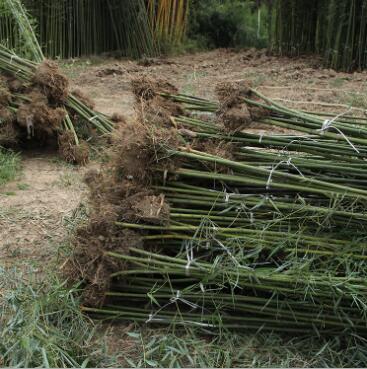 苗圃直销 青皮竹子 四季常青庭院绿化观赏 青竹批发 园林竹子植物