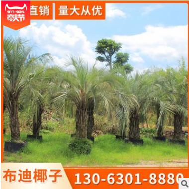 布迪椰子基地批发 (3M-6M) 质量保证专业种植直销