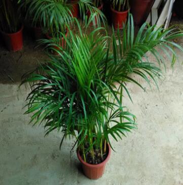 富贵椰子室内客厅大型绿植袖珍椰子盆栽吸甲醛 散尾葵 凤尾竹