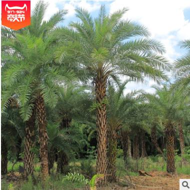 中东海枣专业种植 棕榈热带风景树 场地直销