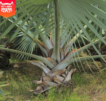 福建产地农户直销 专业种植精品霸王棕 批发基地销售 树形优美